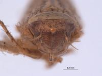 Phlepsius denticulus image