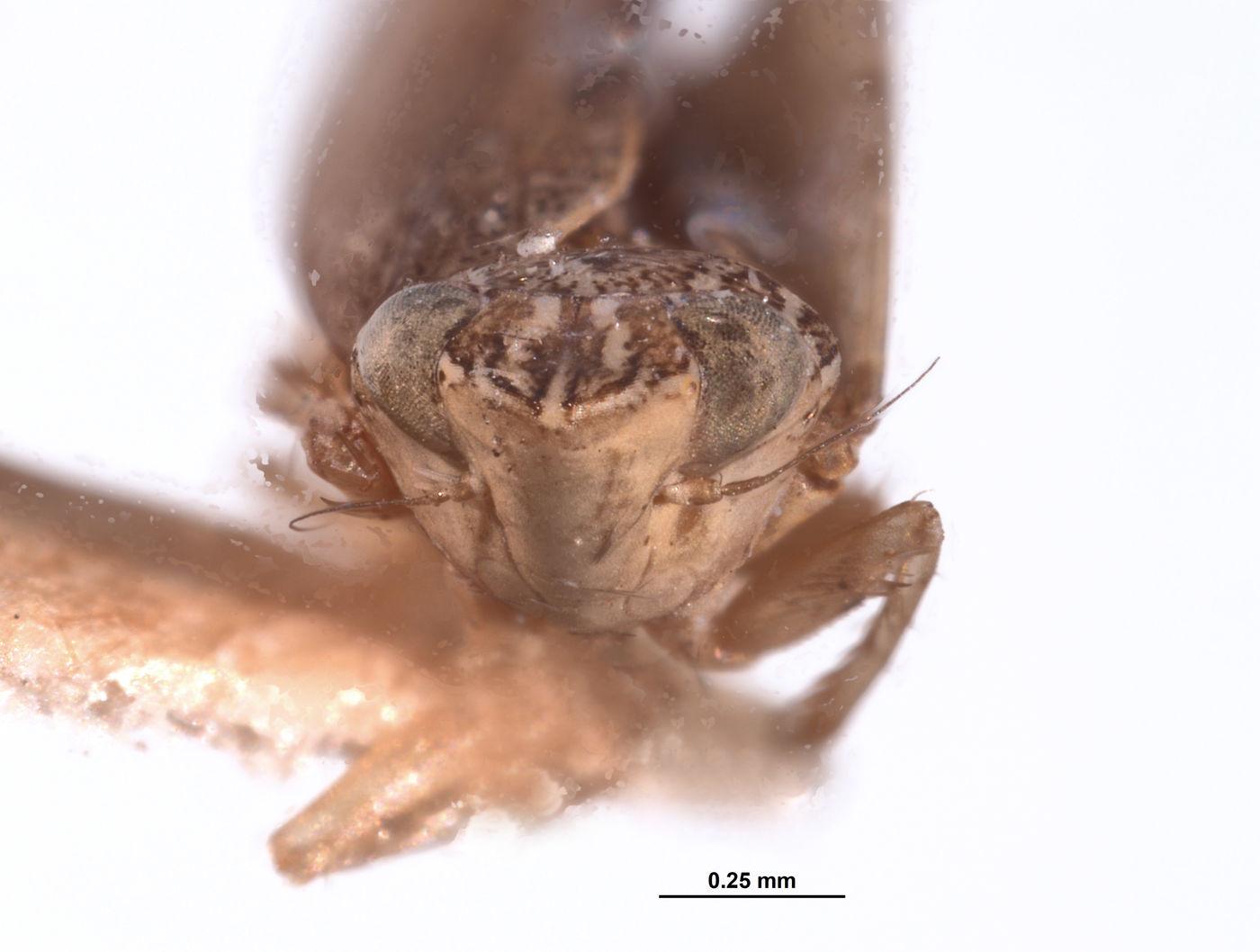 Platymetopius aequinoctialis image