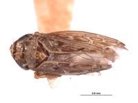 Image of Deltocephalus insularis