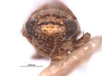 Deltocephalus insularis image