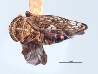 Image of Aligia plena