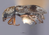 Image of Listrus vanduzeei