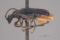 Image of Anoplodermorpha breva
