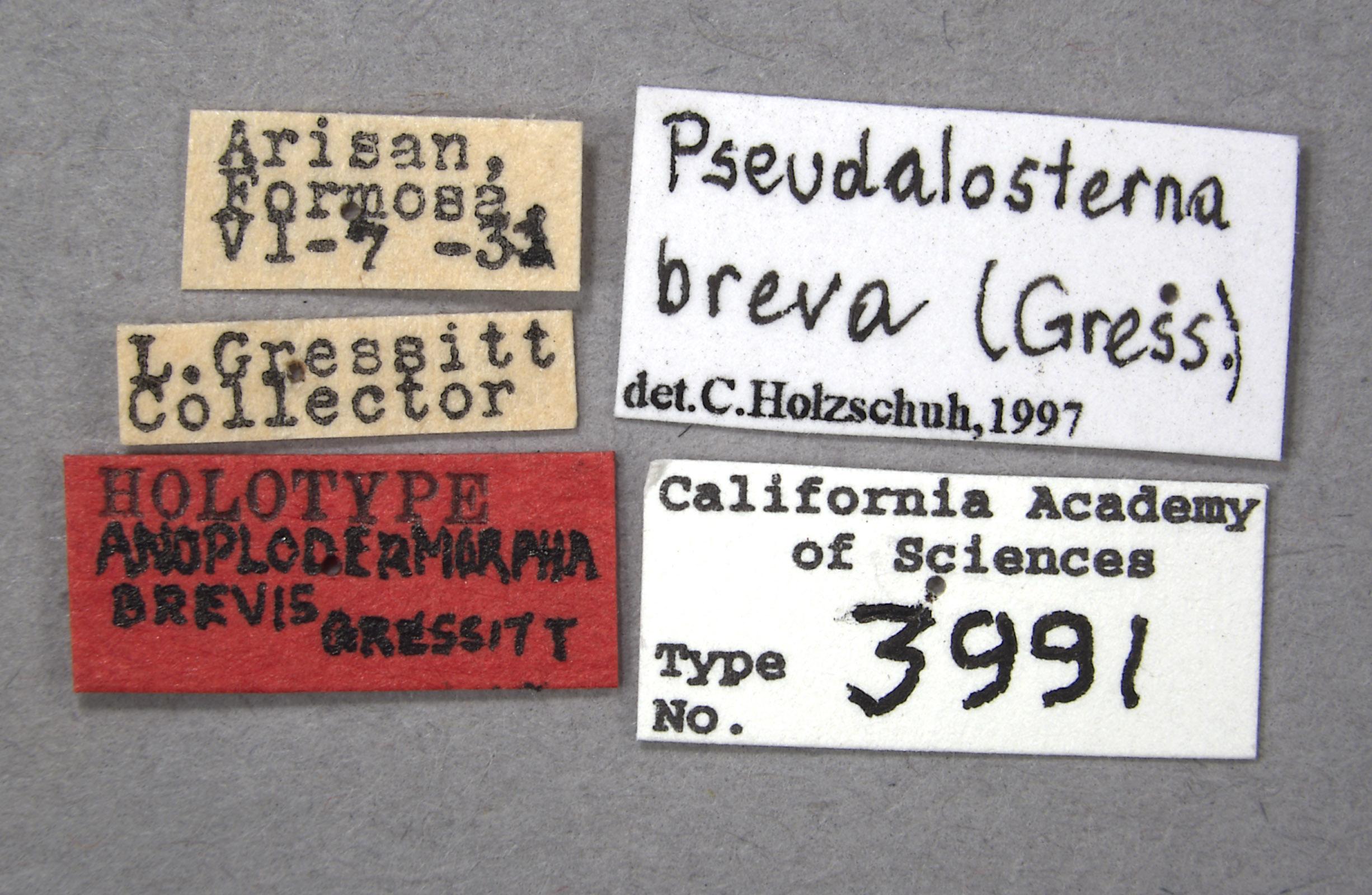 Anoplodermorpha breva image