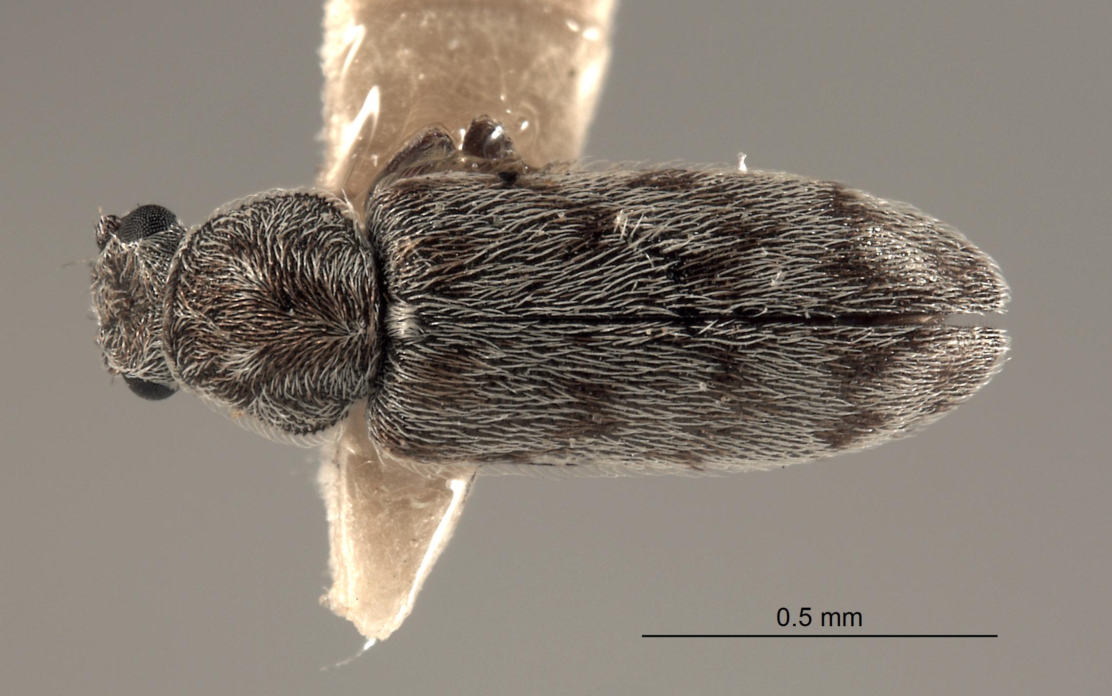 Listrus coalingensis image