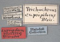 Image of Trichochrous cupripilosa