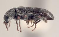 Image of Listrus wyominensis