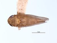 Image of Chlorotettix excultus