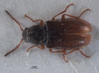Image of Pseudasydates inyoensis