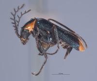 Image of Malachius blaisdelli