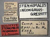 Stenhomalus incongruus image