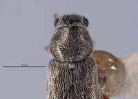Listrus coronadensis image