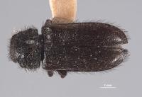 Image of Trichochroides scabricollis