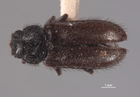 Image of Trichochroides falsus