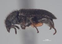 Image of Trichochroides nunenmacheri