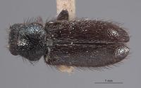 Image of Trichochroides parvicollis