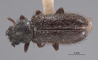 Image of Trichochroides virilis