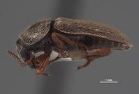 Image of Eutrichopleurus concinnus