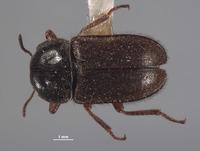 Image of Eudasytes brunnipilosa