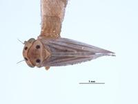 Image of Agallia mera