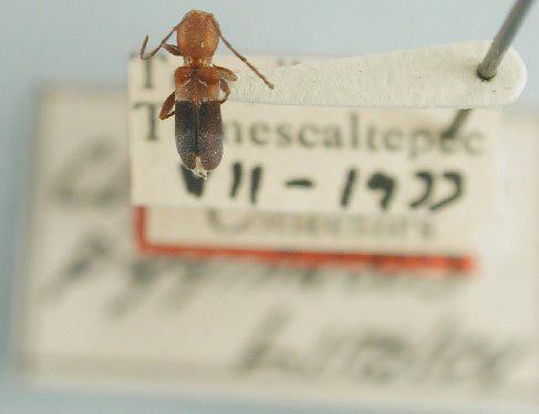 Clytoderus pygmaeus image