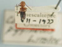 Image of Clytoderus pygmaeus