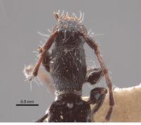 Tetranodus niveicollis image