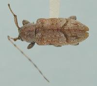 Image of Leiopus rossi