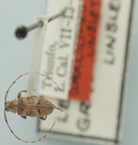 Image of Leiopus gracilipes