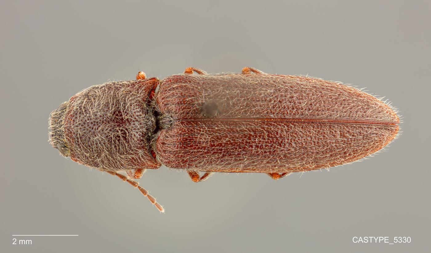 Limonius cribriceps image