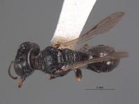 Lindenius inyoensis image