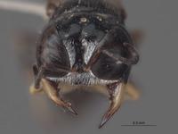 Lindenius tylotis image