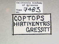 Coptops hirtiventris image