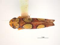 Erythrogonia ladonia image
