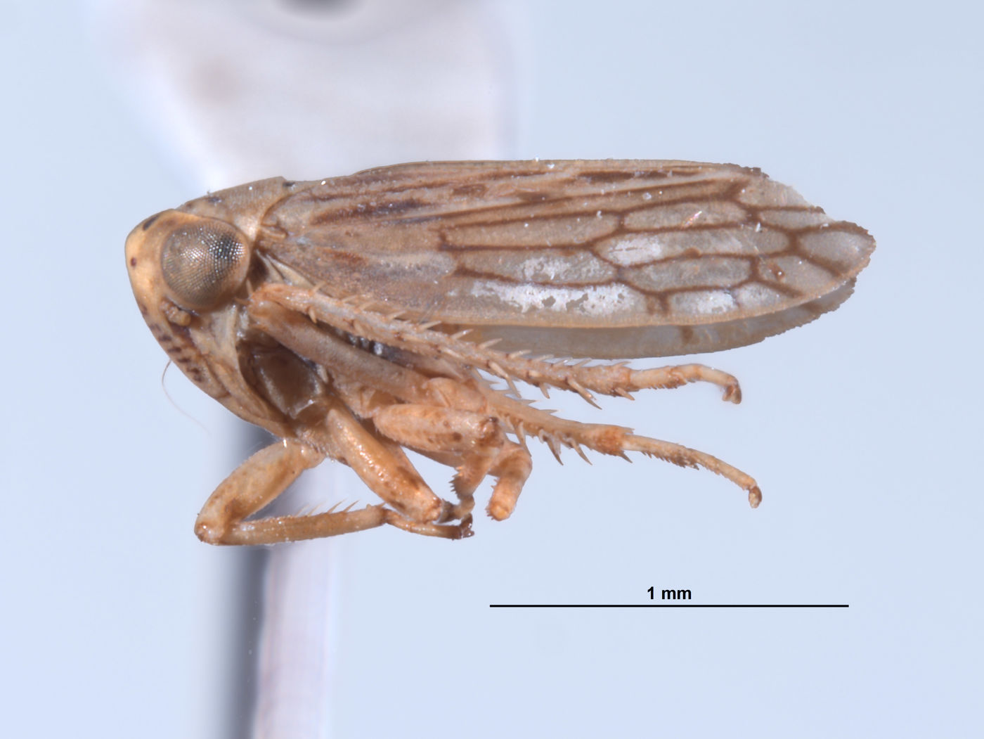 Ceratagallia image