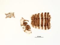 Ceratagallia neodona image