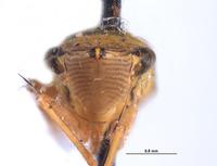 Draeculacephala crassicornis image