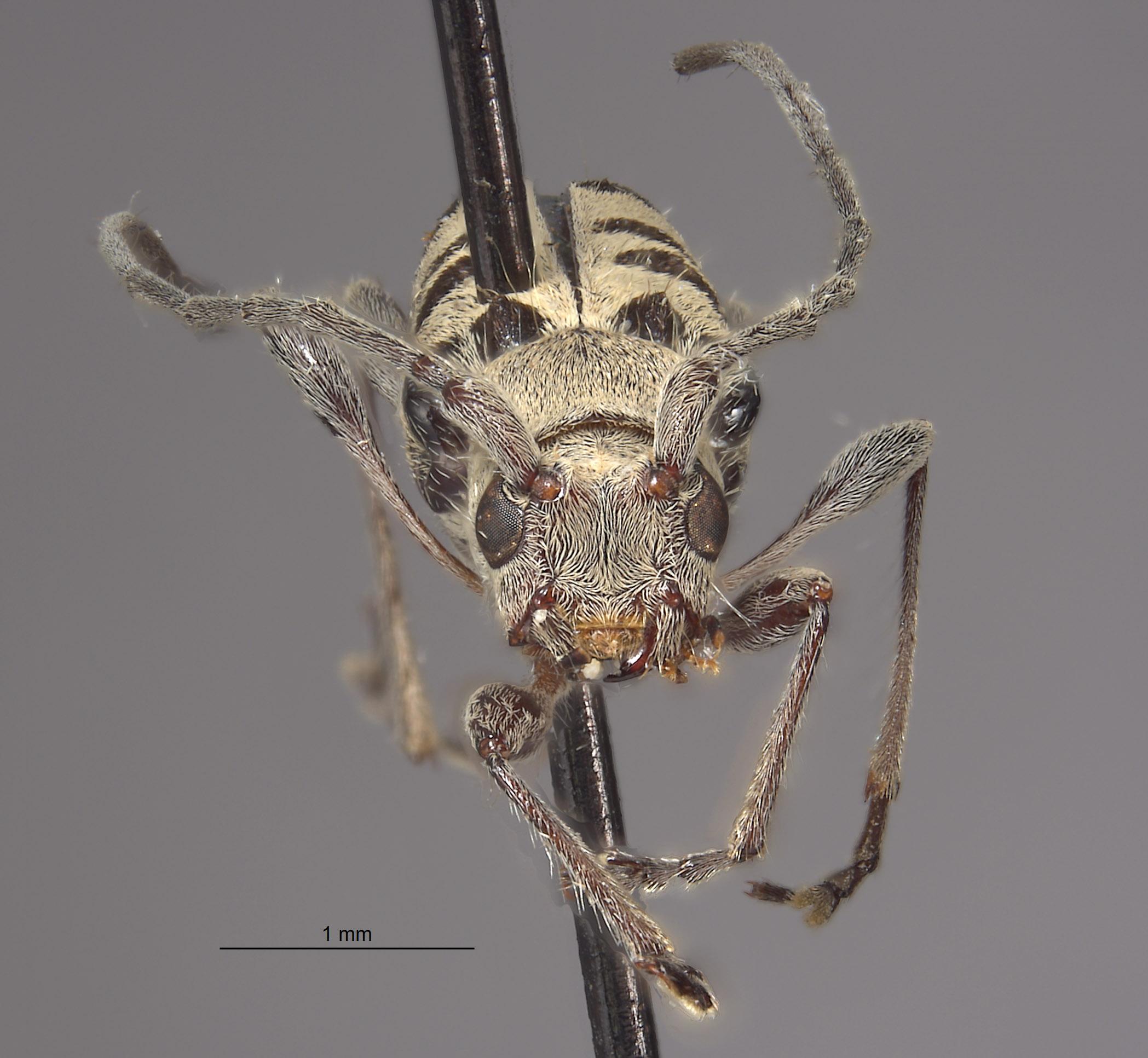 Aglaophis decemmaculatus image