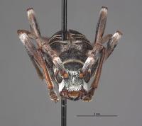 Image of Aglaophis albiventris