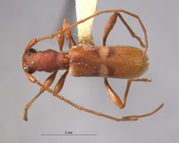 Image of Chinobrium mediofasciatum