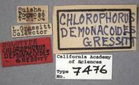 Chlorophorus demonacoides image