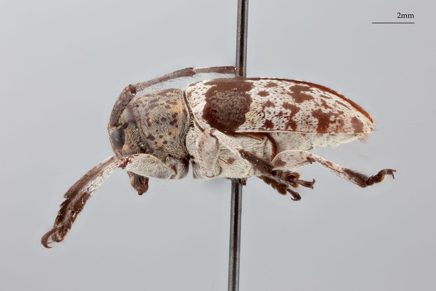 Choeromorpha formosana image