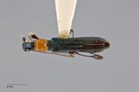 Image of Cleomenida pulchella