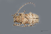 Image of Coptops hirtiventris