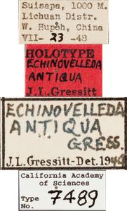 Echinovelleda antiquua image