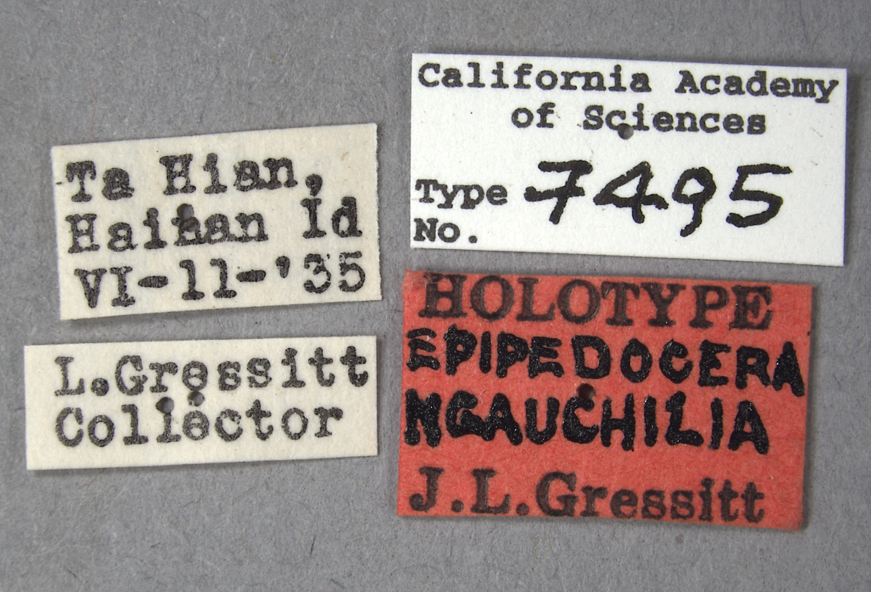 Epipedocera hoffmanni image