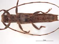 Euseboides matsudai ssp. spinipennis image