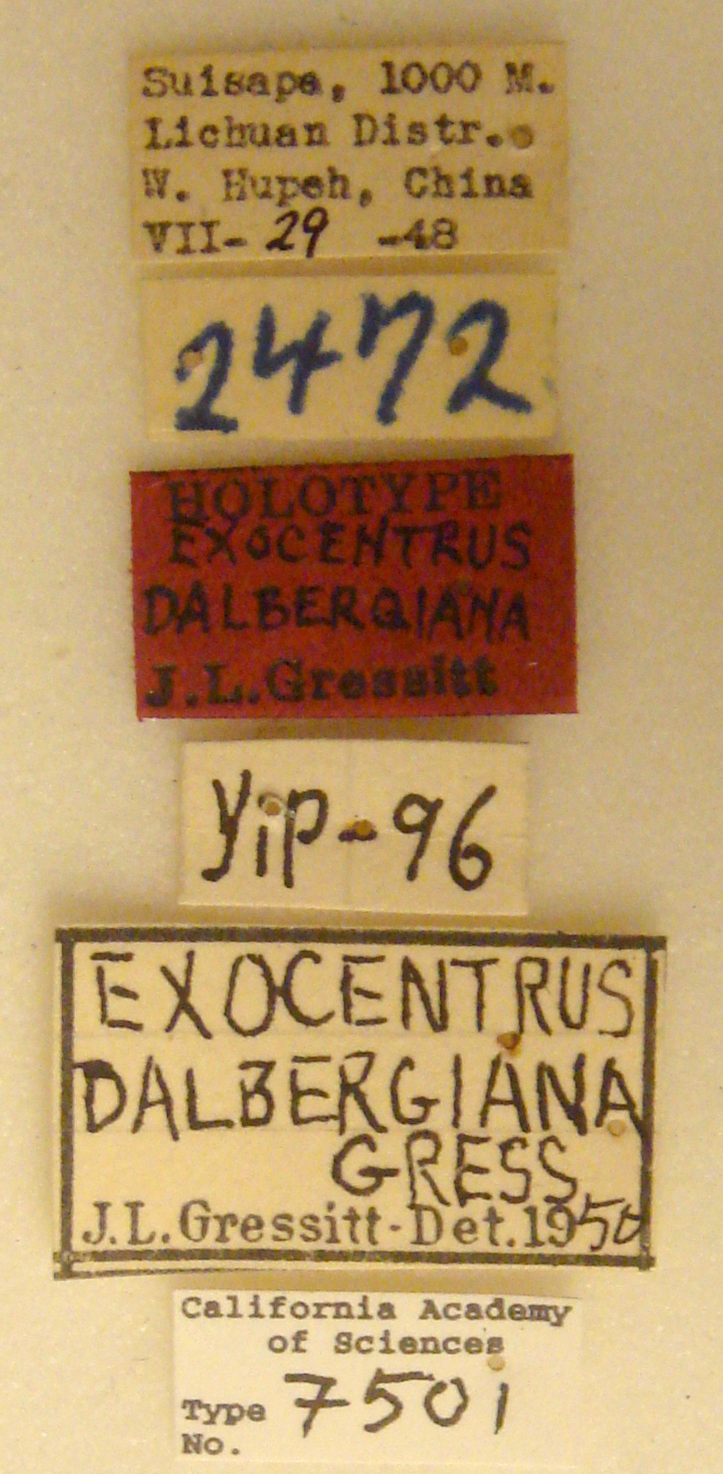 Exocentrus dalbergianus image