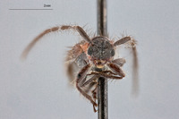 Image of Exocentrus rufithorax