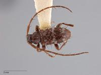 Exocentrus trifasciellus image